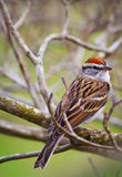 Chipping Sparrow. (Spizella passerina) perched in a tree stock photography
