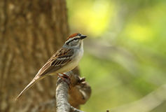 Chipping Sparrow, Spizella passerina. Perched on a tree branch stock image