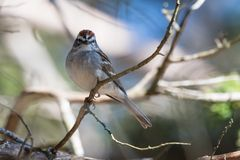 Chipping Sparrow Spizella passerina perched in a tree. Chipping sparrow bird is perched on a limb with a beautiful bokeh background stock images