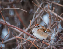 Chipping Sparrow. Spizella passerina - Chipping Sparrow searching for food royalty free stock photo
