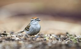 Chipping Sparrow bird eating seeds, Athens GA, USA. Chipping Sparrow, Spizella passerina, songbird eating bird seed off the ground in Athens, Georgia, USA royalty free stock photo