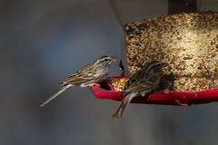 Chipping Sparrow, Spizella passerina. Chipping Sparrows eat seed at a feeder stock images