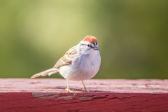 Chipping Sparrow Spizella Passerina. On weathered red wood in late afternoon royalty free stock image