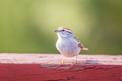 Chipping Sparrow Spizella Passerina. On weathered red wood in late afternoon stock images