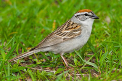 Chipping Sparrow. Standing in the grass stock photo