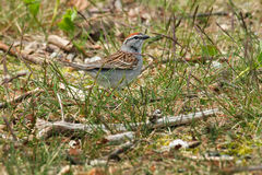 Chipping Sparrow. Walking in the grass stock photos