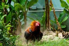 Chiquenaude de poulet dans le jardin photos stock