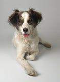 Chiquita Banana 1. Costa Rican Mixed breed dog laying down royalty free stock image