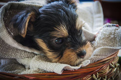 Yorkshire puppys face Stock Photo