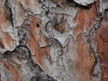 Chir pine bark Stock Photo