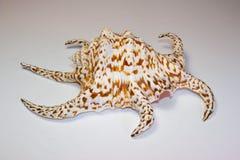 Chiragra Spider Conch Shell Stock Image