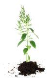 Chiretta verde joven Imagen de archivo
