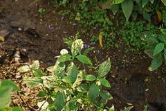 Chiretta verde, planta herbácea anual Fotos de archivo libres de regalías