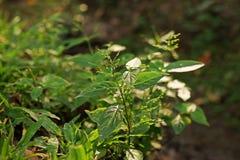 Chiretta verde, planta herbácea anual Imágenes de archivo libres de regalías