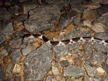 Chirimiri蛇 库存照片