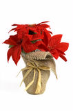 Chiristmast flower poinsettia Royalty Free Stock Image