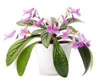Chirita variety Stock Images