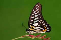 Chironides /male/butterfly di Graphium Fotografie Stock