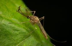 Chironomid - Nonbiting fjädermyggor Royaltyfria Foton