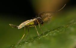 Chironomidae Stockfotografie