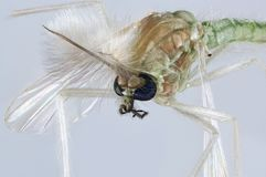 Chironomidae mosquito portrait stock photography