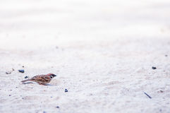 Chirp on sand. A chirp searching for food in the sand royalty free stock images