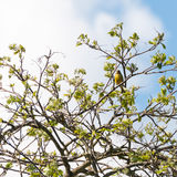 Chirping Away. A greenfinch sits in the branches of a rowan tree royalty free stock image