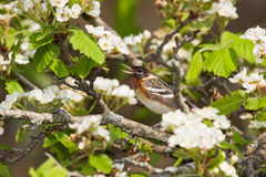 Chirping bay-breasted warbler. Snuggly perched in an apple tree with its beak wide open; a bay breasted warbler chirps a song for all to hear. White blossoms Royalty Free Stock Photos