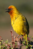 Chirping Cape Weaver. Cape Weaver chirping in the Addo morning sun Stock Image