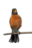 Chirping Robin. An american robin displays it warm orange breast feathers. Perched on a branch, the bird chirps its cheery song. White background Royalty Free Stock Images