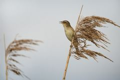 Chirping sedge warbler in the reed royalty free stock photo