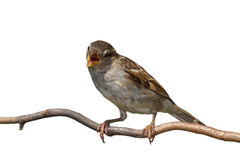 Chirping Sparrow. A sparrow with its beak wide open, chirps a song while perched sideways on a branch, white background Royalty Free Stock Photo