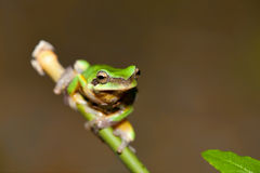 Chirping tree frogs are courting in the forest,Taiwan Royalty Free Stock Photo