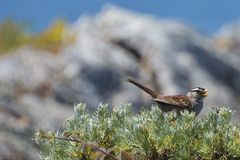 Chirping White Crowned Sparrow. Chirping sparrow on bush Stock Image