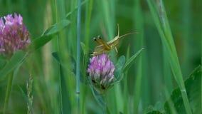 Chirring mały zielony pasikonik na koniczynowym kwiacie, zwolnione tempo zbiory