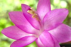 chirstmas kaktusowy schlumbergera Zdjęcie Stock
