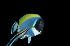Chirurgfische und bluestreak Reinigungsmittel Wrasse Stockbild