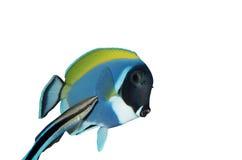 Chirurgfische und bluestreak Reinigungsmittel Wrasse Stockfoto