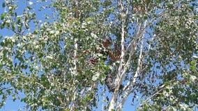 Chirurgien d'arbre grimpant à un arbre banque de vidéos