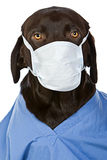 Chirurgien de Labrador de chocolat Photographie stock