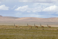 Chirus(Tibetan antelopes) Stock Image