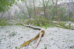 Chisinau, Republic of Moldova - April 20, 2017: Tree branch with green spring leaves broken by heavy snow, in dormitory area Stock Image