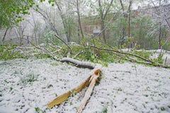Chisinau, Republiek Moldavië - 20 April, 2017: Boomtak met groene die de lentebladeren door zware sneeuw, op slaapzaalgebied word Stock Afbeelding