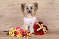 Chiński czubaty pies Zdjęcia Stock