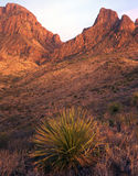 Chisos Mountains & Desert Plant. The Chisos Mountains of Big Bend National Park in Texas with a desert plant in the foreground photographed at dusk stock image