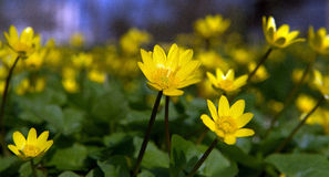 Chistyakov Flores amarelas da mola Fotografia de Stock