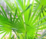chit αφήνει το δέντρο yucatan τροπικώ Στοκ Εικόνες
