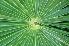 Chit Florida Thatch Palm THRINAX RADIATA. In mexico stock image