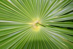 Chit Florida Thatch Palm THRINAX RADIATA. In mexico royalty free stock images