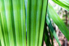 Chit Palm in Mexico Royalty Free Stock Image